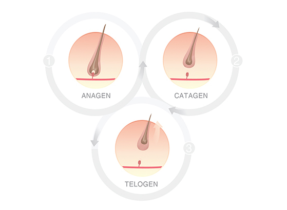 Hair Cycle in women