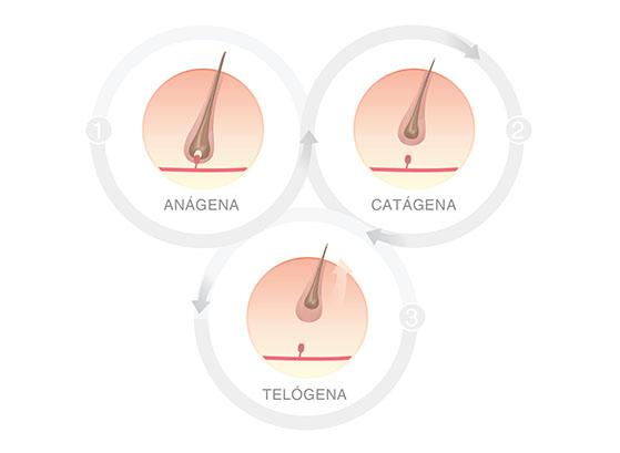 Hair Cycle in women Spanish