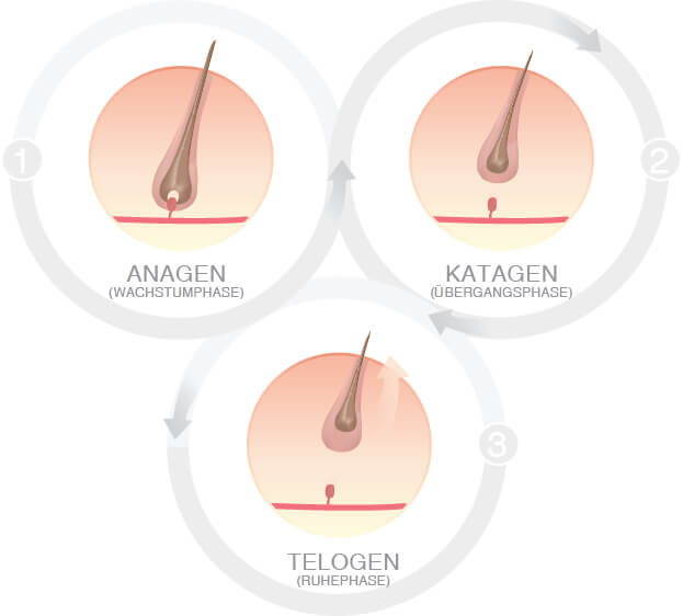 Hair Cycle in women - deutsche